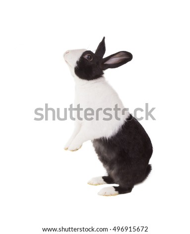 Dutch dwarf rabbit standing on its hind legs. Isolated on white background