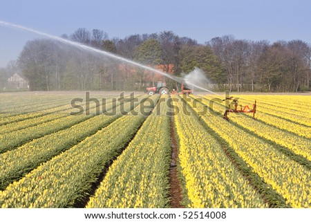 Dutch field of yellow tulips with sprinkler installation for irrigation - stock photo