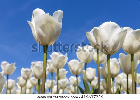 Dutch field with blooming white tulips and a blue sky, one tulip is isolated. - stock photo