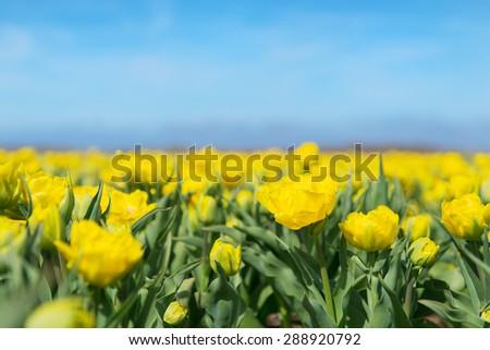 Dutch flower field with yellow tulips - stock photo