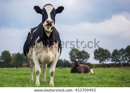Dutch Holstein black and white cow in a meadow - stock photo