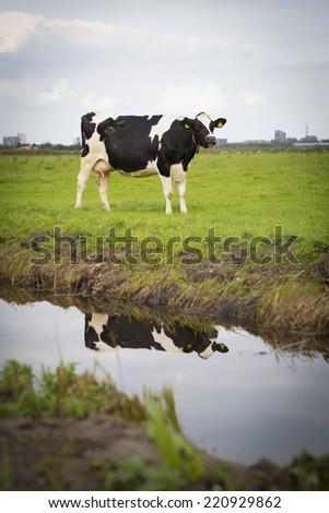 Dutch Holstein dairy cow grazing in field, the Netherlands - stock photo