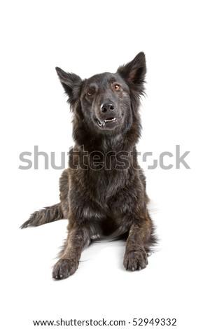 Dutch long haired shepherd dog in front of a white background - stock photo