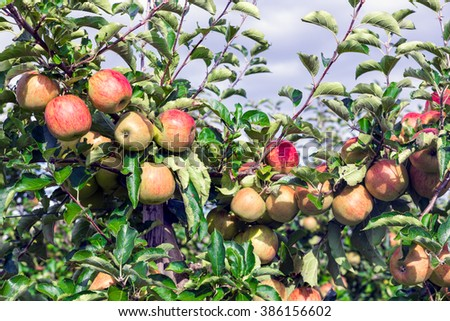Dutch orchard with maturing red apples