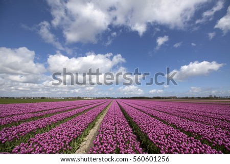 Dutch purple tulip field with a beautiful cloudy sky - Nature picture.