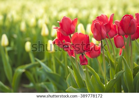 Dutch red tulips standing in front of a flowerbed with white tulips in the Netherlands - stock photo