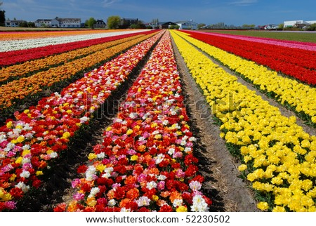 Dutch spottled tulips - stock photo