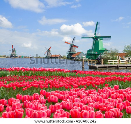 dutch windmills over canal and growing  pink tulips, Holland - stock photo