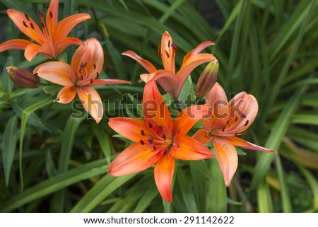Dwarf Asiatic Lily Hybrid - Lilium 'Matrix' - stock photo