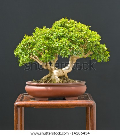 dwarf boxwood bonsai