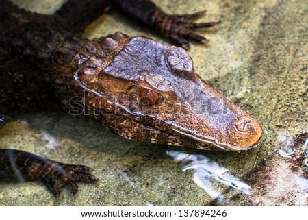 Dwarf caiman (cuvier's) closeup - stock photo