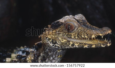 Dwarf caiman, head shot - stock photo