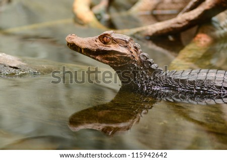 Dwarf caiman, Paleosuchus palpebrosus, in the water on a warm day - stock photo