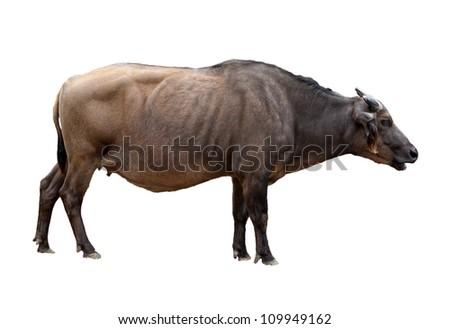 dwarf forest buffalo isolated - stock photo