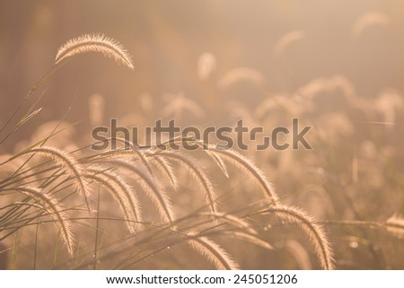 Dwarf Foxtail Grass or Pennisetum alopecuroides weed plants flowers - stock photo