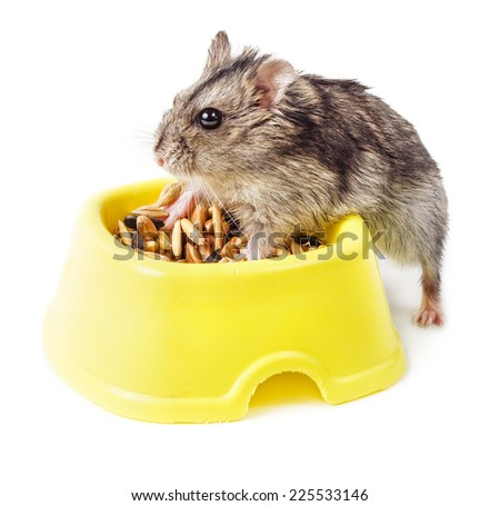 Dwarf hamster eating from yellow bowl isolated on white background - stock photo