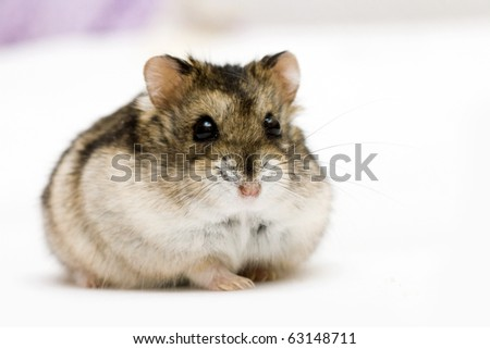 dwarf hamster on neutral background - stock photo