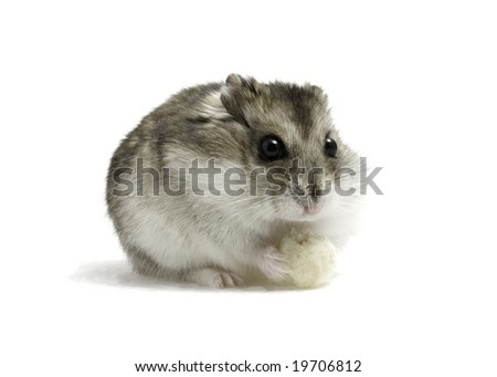 Dwarf hamster seat with bread on white background