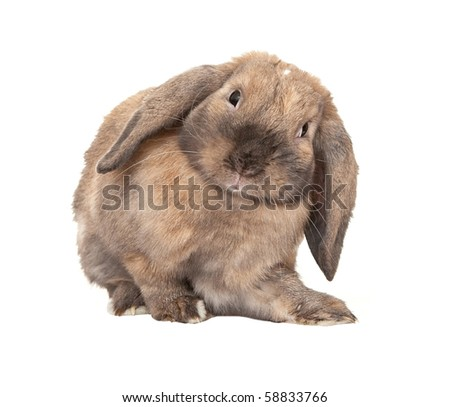 Dwarf lop-eared rabbit breeds Ram. In the Oriental calendar 2011 - the year of rabbit.