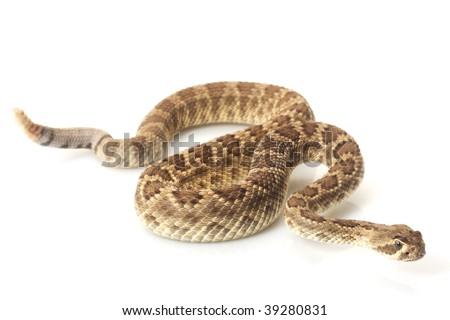 Dwarf Mojave rattlesnake (Crotalus scutulatus) isolated on white background - stock photo
