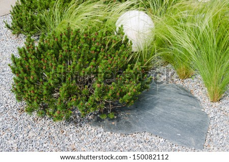 dwarf mountain pine in landscaping the Park - stock photo