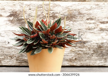 Dwarf Pepper, peperomia - stock photo