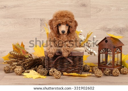 Dwarf poodle puppy in basket on wooden background - stock photo