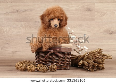 Dwarf poodle puppy sits in wicker basket on wooden background - stock photo