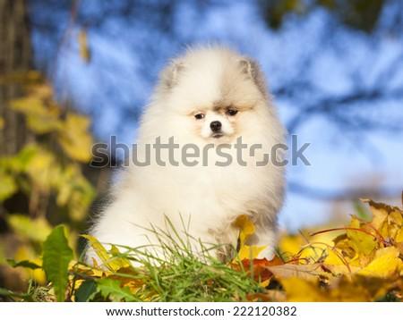 dwarf spitz white - stock photo