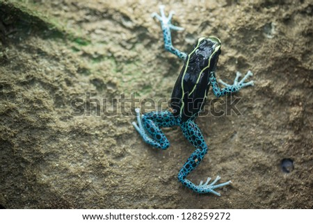 Dyeing Poison Dart Frog climbing on the wall - stock photo