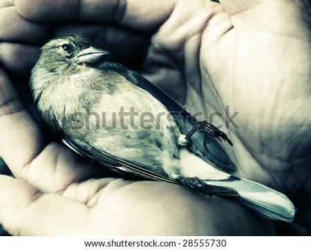dying bird in hands - stock photo