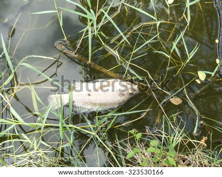 Dying fish in pond - stock photo