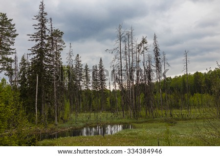 dying forest. environmental problem of the dying forest - stock photo