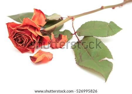 Dying pink rose bloom with dropped petals and a long stem on a white background