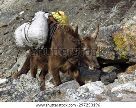 Dzo carring goods towards Everest Base Camp - stock photo