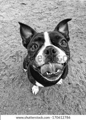 Eager and Excited Boston Terrier Dog - stock photo