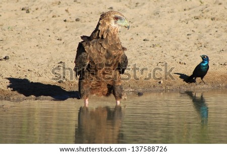 Eagle, Bateleur Young - Wild Birds from Africa - Eye to Eye.  A rare view of a predatory Eagle sharing a watering hole with a very brave Starling.