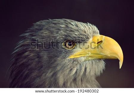 Eagle beautiful portrait - stock photo