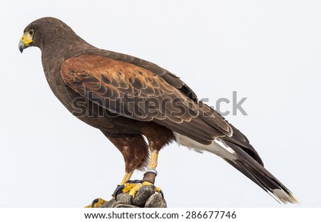 Eagle closely watching intently - stock photo
