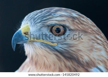 Eagle closeup - stock photo