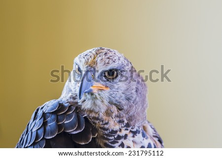 Eagle Crowned (Stepphanoaetus Coronatus), close up of head and wings