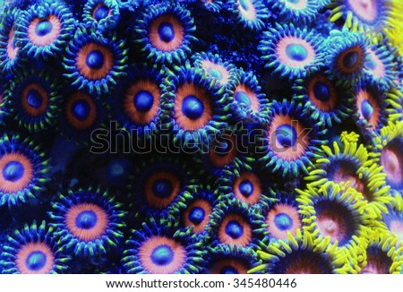 Eagle Eye Zoa (zoanthids sp.)