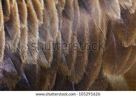 eagle feather detail - stock photo