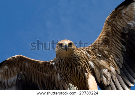 eagle flying over blue sky - stock photo
