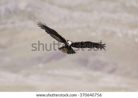 eagle flying over mountain Western Marsh Harrier / Circus aeruginosus