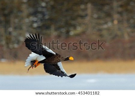 Eagle flying with fish. Beautiful Steller's sea eagle, Haliaeetus pelagicus, flying bird of prey, with winter forest in background, Kamchatka, Russia. Wildlife action behaviour scene from nature.  - stock photo