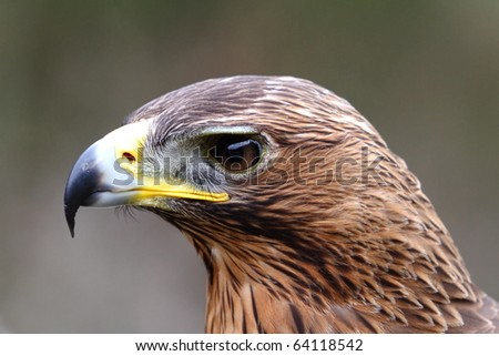eagle hawk close up - stock photo