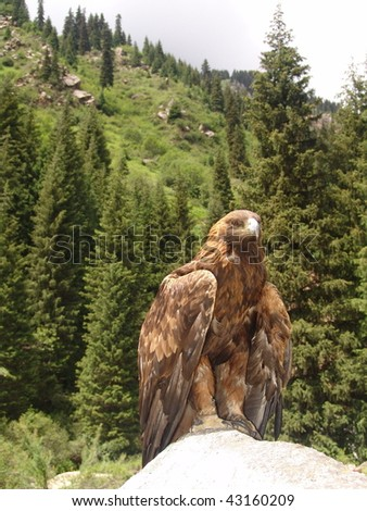 eagle hunting - stock photo