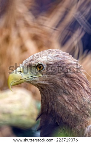 Eagle in the wild, a portrait