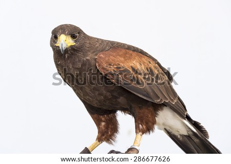 Eagle is a common name for many large birds of prey of the family Accipitridae. - stock photo
